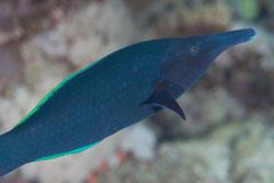 BD-120424-Marsa-Alam-6313-Gomphosus-caeruleus.-Lacepède.-1801-[Green-birdmouth-wrasse].jpg